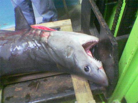 Tiburones en Llanes (No es broma)