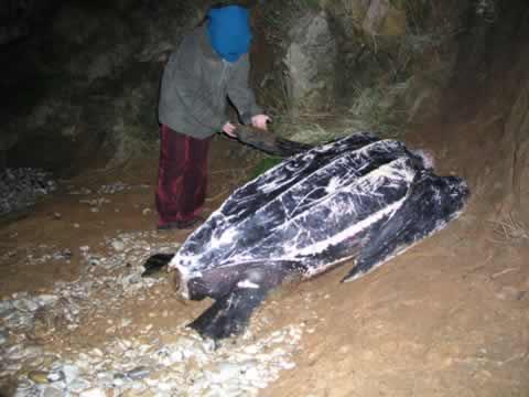 Una tortuga laúd en  Celorio